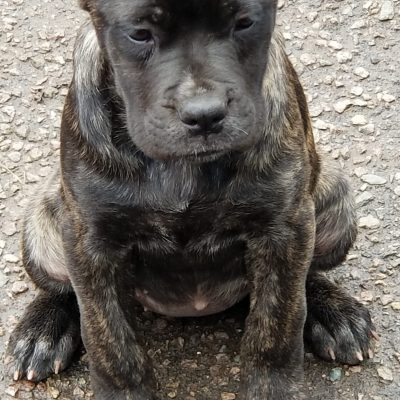 Tony - female Cane Corso pup for sale at Boston, Massachusetts