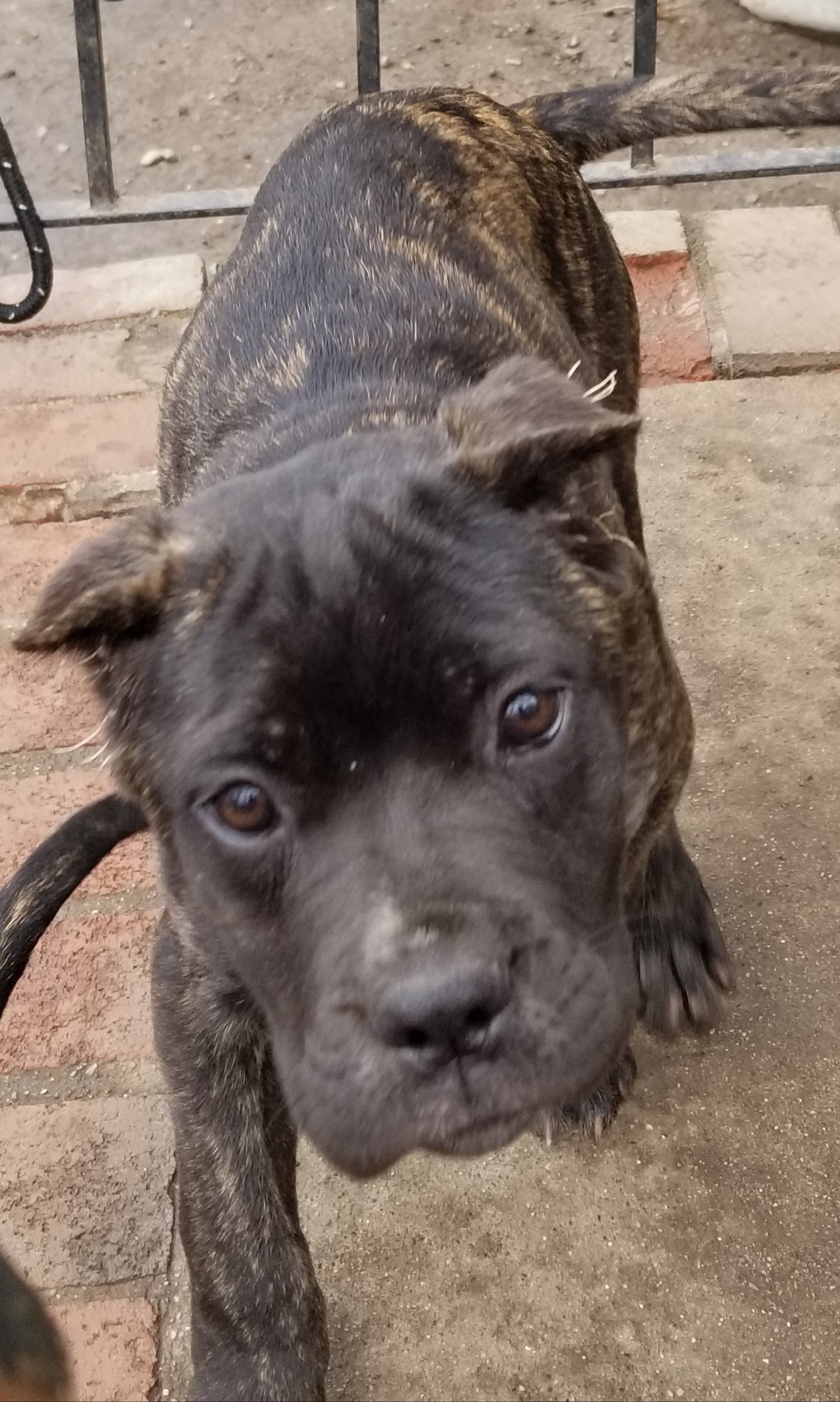 Tiny - Cane Corso puppy for sale in Boston, Massachusetts