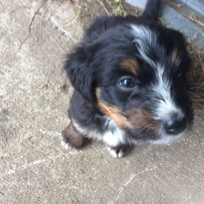 Lucy - Bernedoodle pupper for sale in Wright City, Missouri