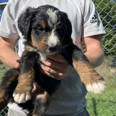 Dexter - Berniedoodle puppy for sale at Wright city, Missouri