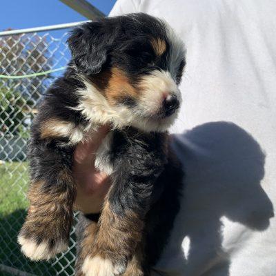 Jackson - Male Bernie doodle pupper for sale in Wright city, Missouri