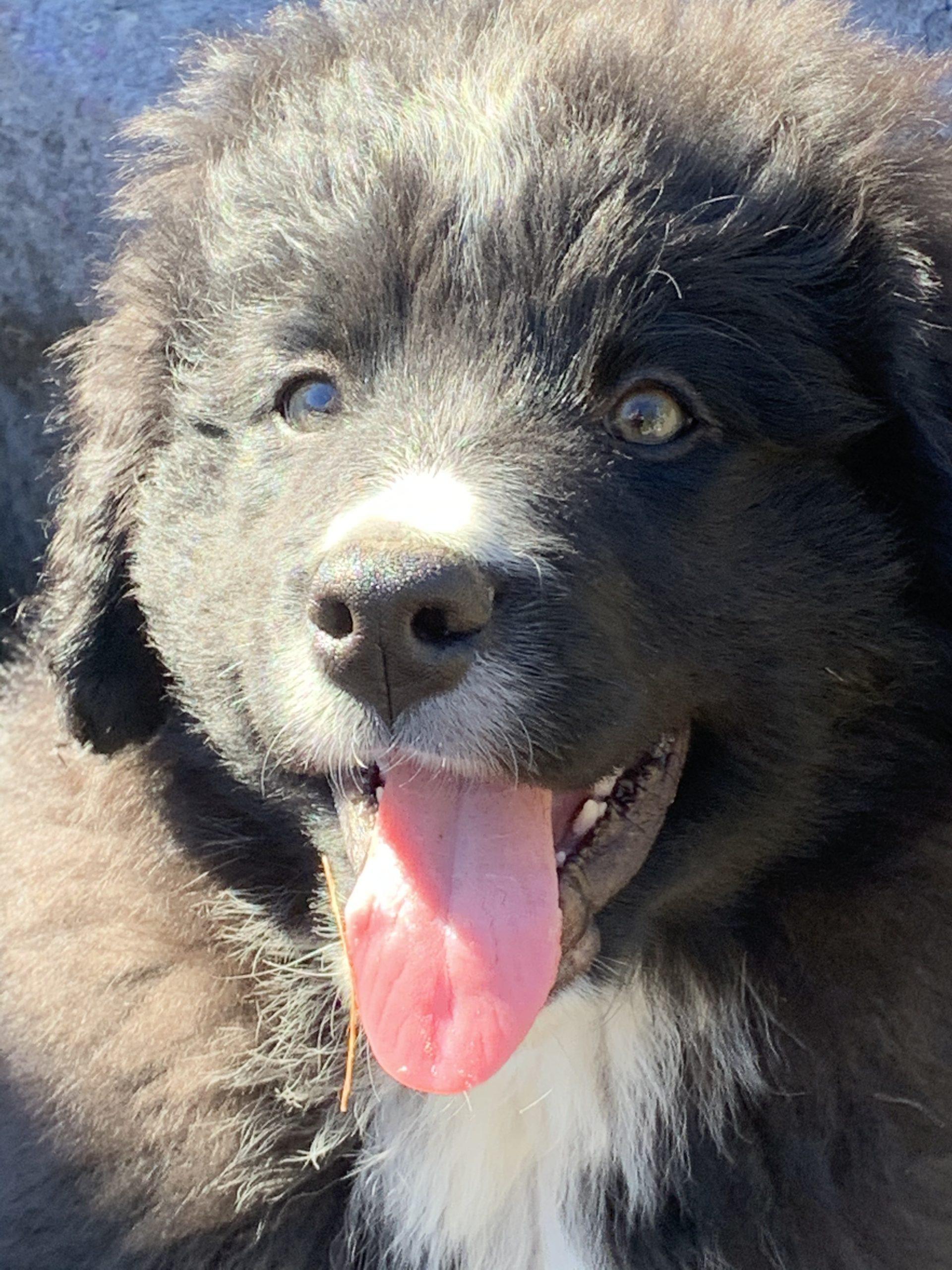 Cruze - Berniedoodle puppie for sale in Wright City, Missouri
