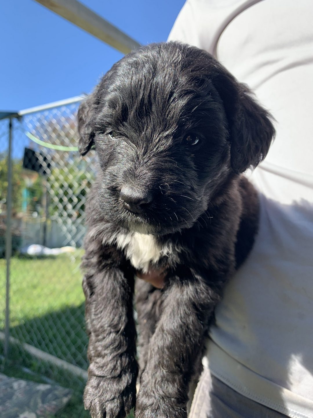 Tank - Bernedoodle puppy for sale in Wright City, Missouri