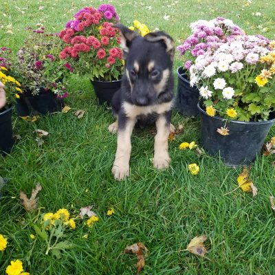 Midnight - male AKC German Shepherd pupper for sale near New Haven, Indiana