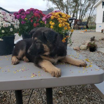 Missy - puppy AKC German Shepherd for sale near New Haven, Indiana