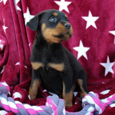 Angel - AKC Rottweiler pupper for sale in Grabill, Indiana