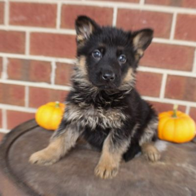 Georgo - AKC German Shepherd pup for sale in New Haven, Indiana