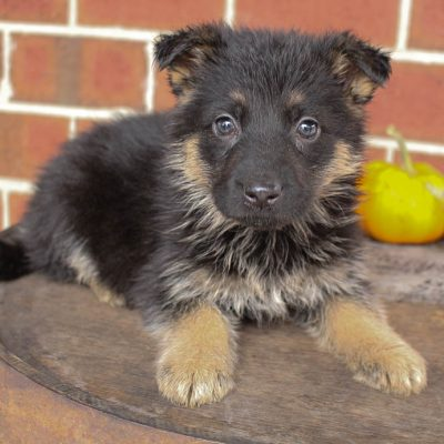 James - doggie AKC German Shepherd for sale in New Haven, Indiana