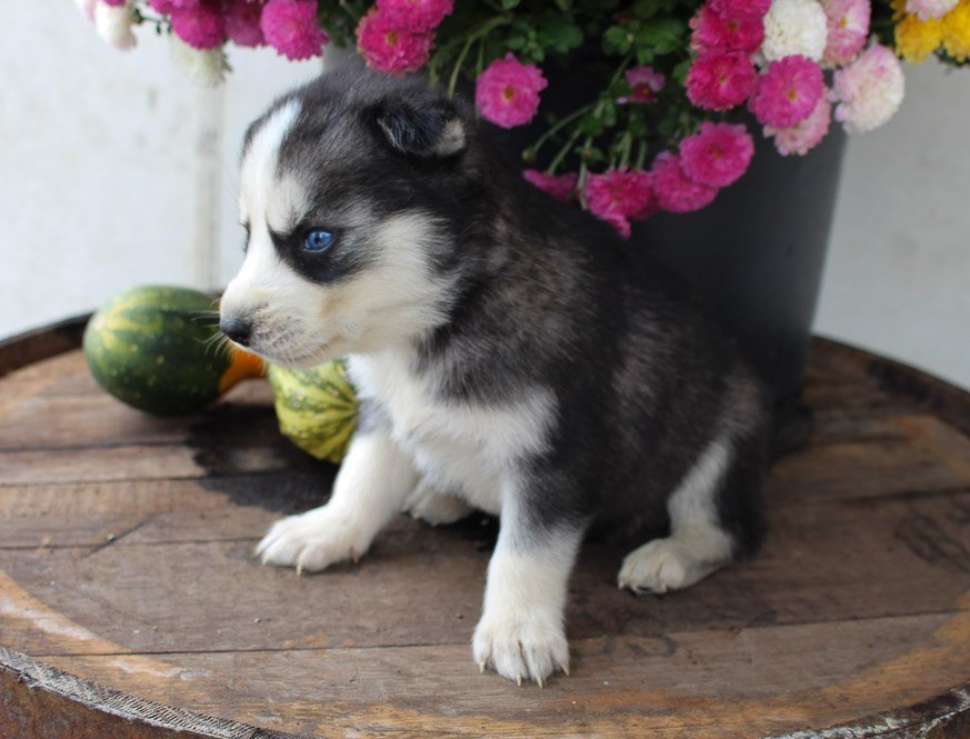 Pending - AKC Siberian Husky pup for sale in New Haven, Indiana