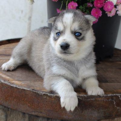 Henry - AKC Siberian Husky pupper for sale at New Haven, Indiana