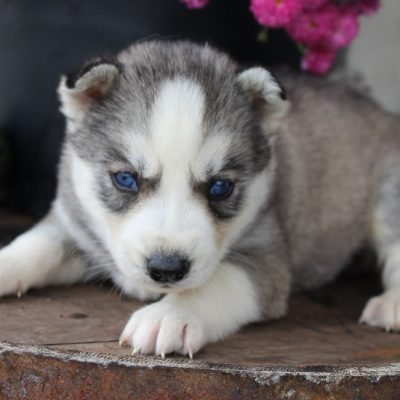 Hudson - AKC Siberian Husky doggie for sale in New Haven, Indiana