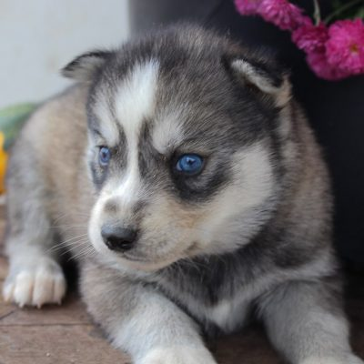 Hub - AKC Siberian Husky puppie for sale at New Haven, Indiana
