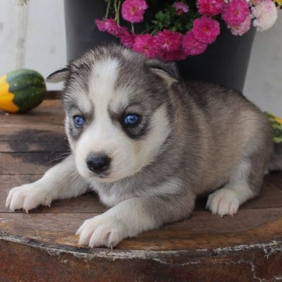 Helly - AKC Siberian Husky puppy for sale near New Haven, Indiana