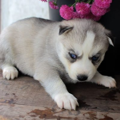 Hannah - female AKC Siberian Husky pup for sale in New Haven, Indiana