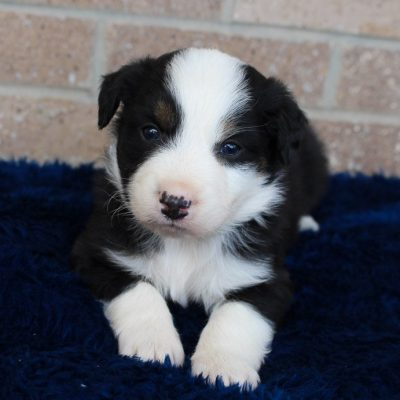 Glory - female Australian Shepherd puppie for sale in Spencerville, Indiana