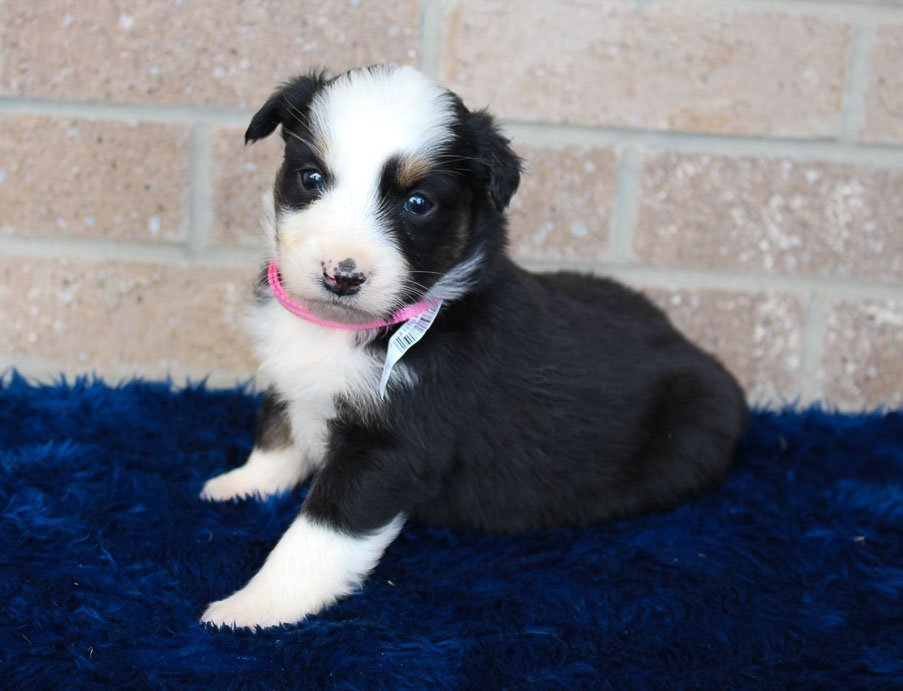 Dolly - Australian Shepherd pup for sale at Spencerville, Indiana