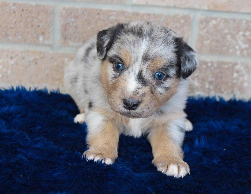 Pending - pup Australian Shepherd for sale near Spencerville, Indiana