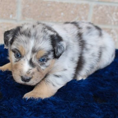 Pending - pup Australian Shepherd for sale near Spencerville, Indiana