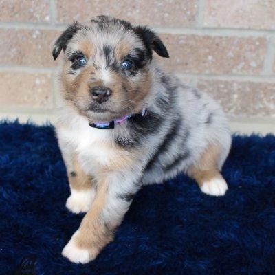 Pending - female Australian Shepherd puppie for sale at Spencerville, Indiana