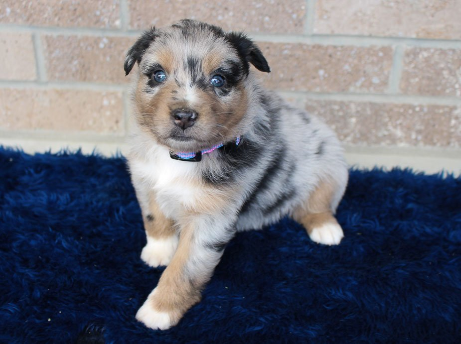 Pending - female Australian Shepherd puppie for sale at Spencerville, Indiana