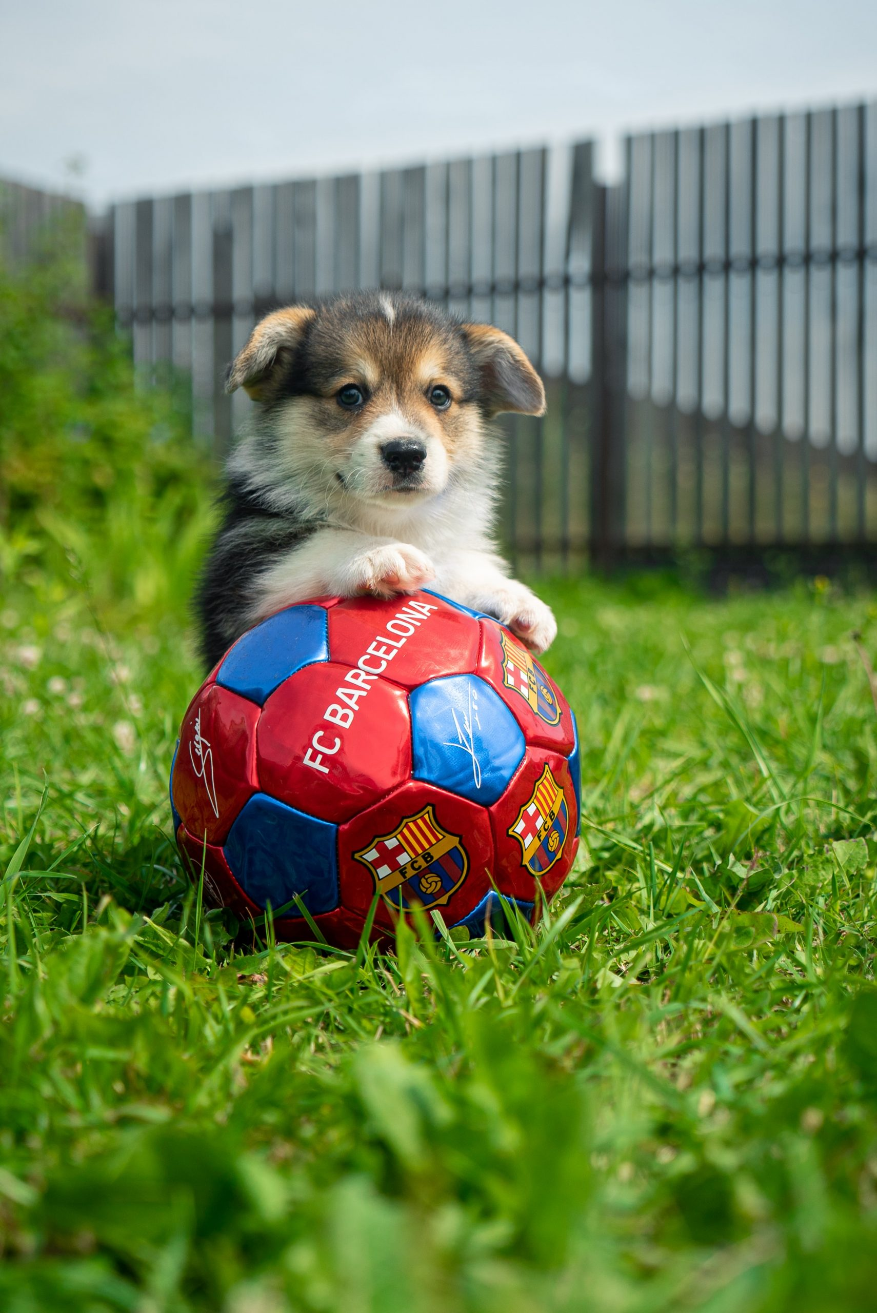Cute puppy in the grass posing with a soccer ball.