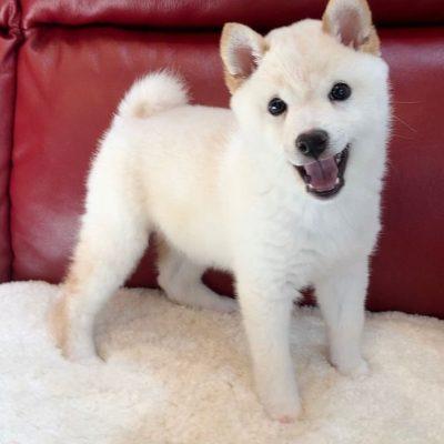 Cassie - Shiba Inu puppy for sale near Norfolk, Virginia