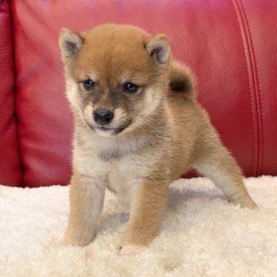 Jackson - doggie Shiba Inu for sale at Norfolk, Virginia