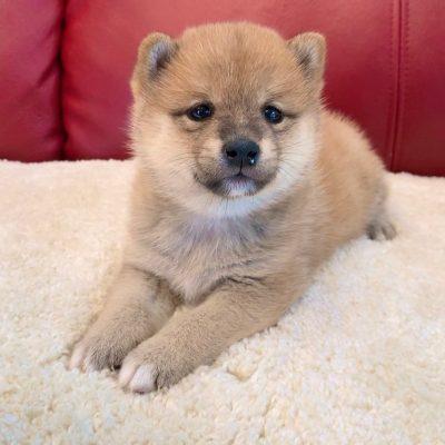 Jane - female Shiba Inu puppie for sale near Norfolk, Virginia