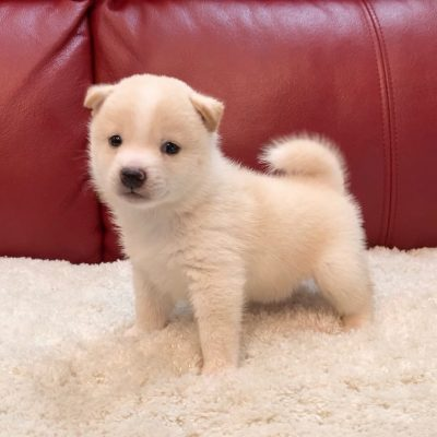 Jerry - Shiba Inu pup for sale at Norfolk, Virginia