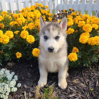 Marshall - AKC Siberian Husky doggie for sale near Grabill, Indiana