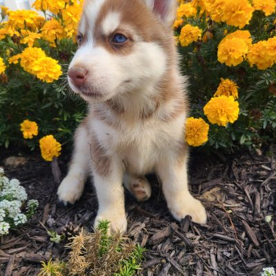 Clifford - puppy AKC Siberian Husky for sale in Grabill, Indiana