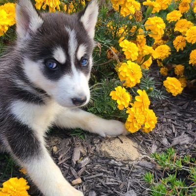 Peace - AKC Siberian Husky pupper for sale in Grabill, Indiana