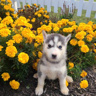 Faith - ACA Siberian Husky pupper for sale near Grabill, Indiana