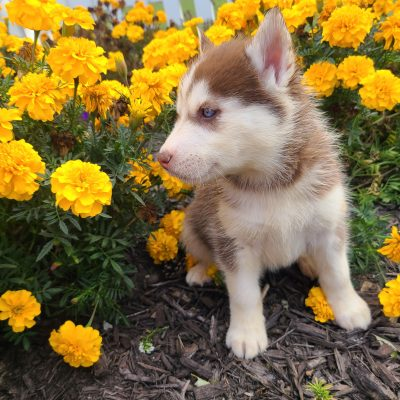 Angel - ACA Siberian Husky puppie for sale in Grabill, Indiana