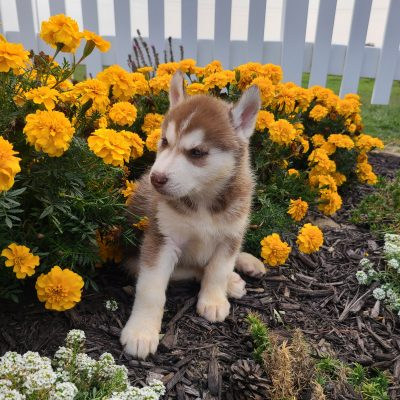 Rusty - ACA Siberian Husky doggie for sale near Grabill, Indiana