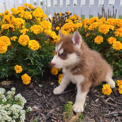 Rubble - ACA Siberian Husky pup for sale at Grabill, Indiana
