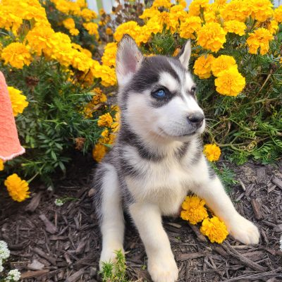 Ryder - ACA Siberian Husky puppy for sale in Grabill, Indiana