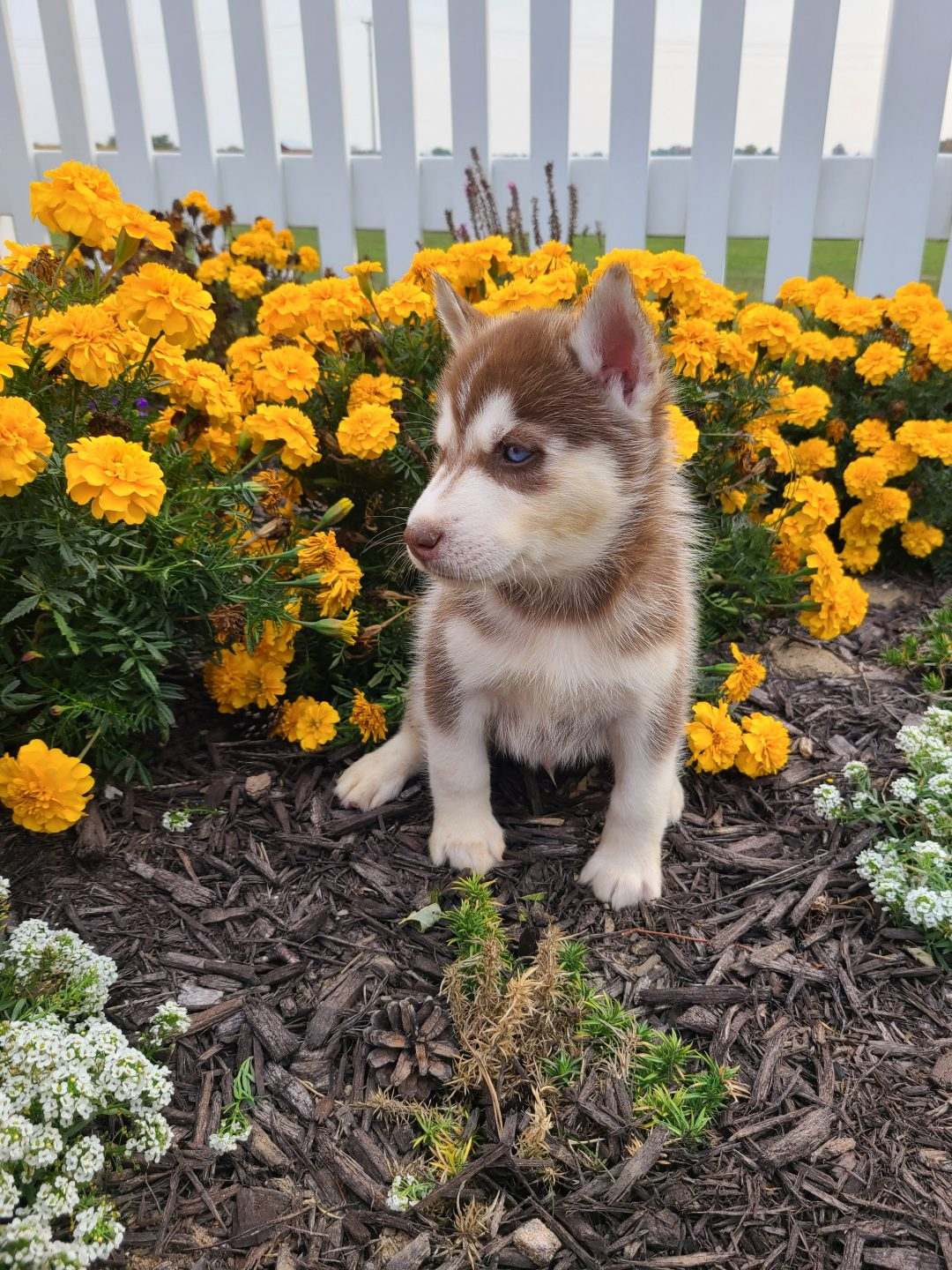 Rocky - ACA Siberian Husky puppy for sale at Grabill, Indiana