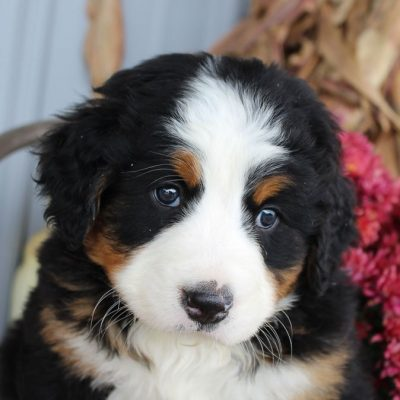 Maverick - AKC Bernese Mountain puppy for sale near Grabill, Indiana