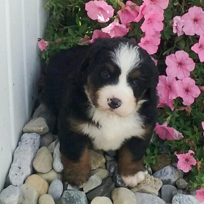 Jericho - AKC Bernese Mountain puppy for sale at Grabill, Indiana