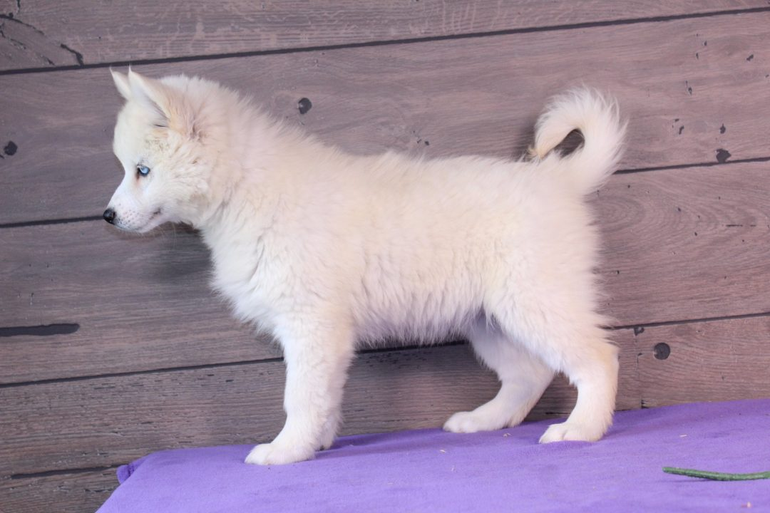 Lulu - puppy for sale near Nappanee, Indiana