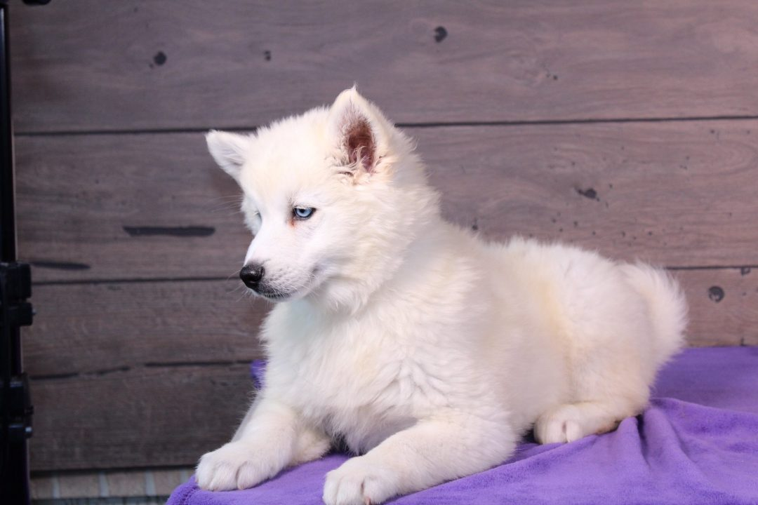Dexter - puppy for sale near Nappanee, Indiana