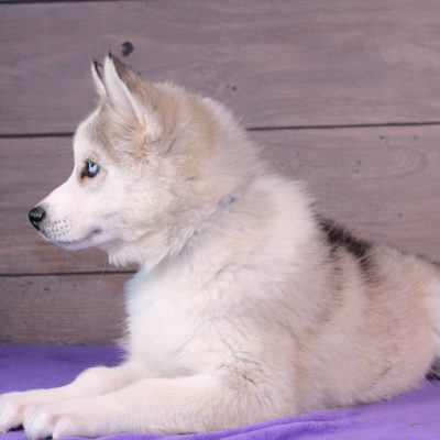 Simba - puppy for sale Nappanee, Indiana