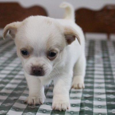 Taylor - CKC Chihuahua male puppy for sale in New Haven, Indiana