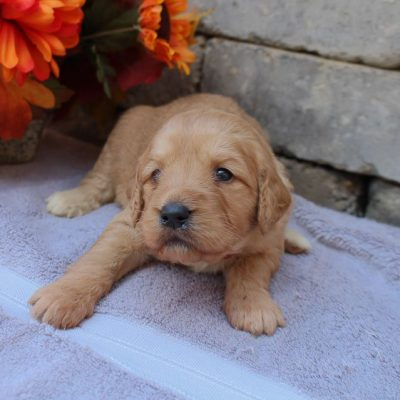 Lindsey - puppy Goldendoodle for sale in New Haven, Indiana