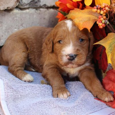 Greyson - Goldendoodle pupper for sale at New Haven, Indiana