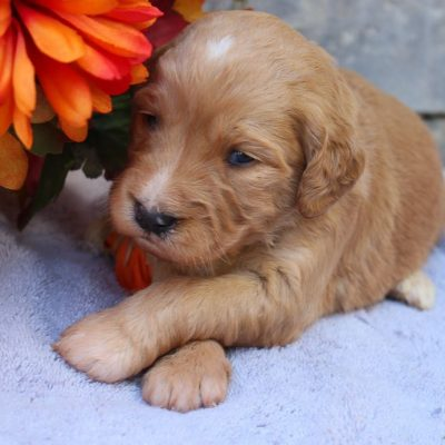 Paige - Goldendoodle pup for sale near New Haven, Indiana