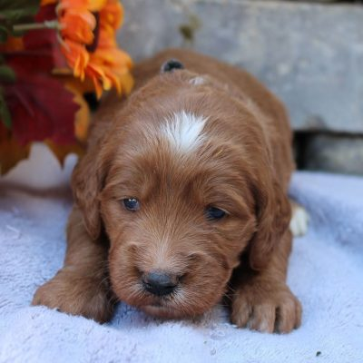 Noelle - female Goldendoodle puppie for sale in New Haven, Indiana