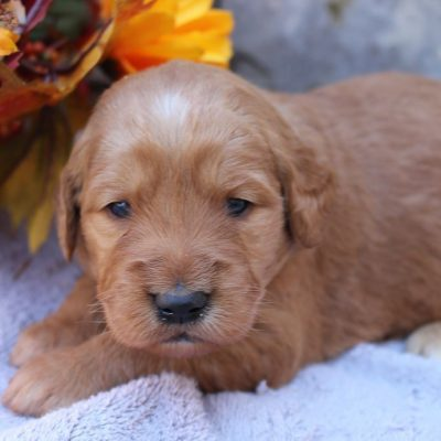 Alexa - Goldendoodle pupper for sale at New Haven, Indiana