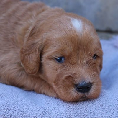 Brantley - Goldendoodle puppie for sale in New Haven, Indiana